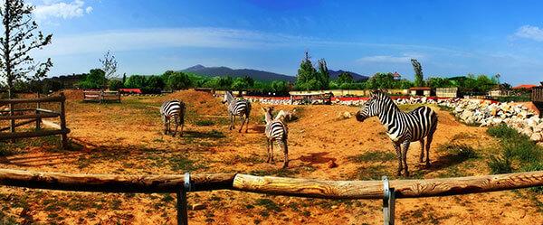Zebras Athens Zoo