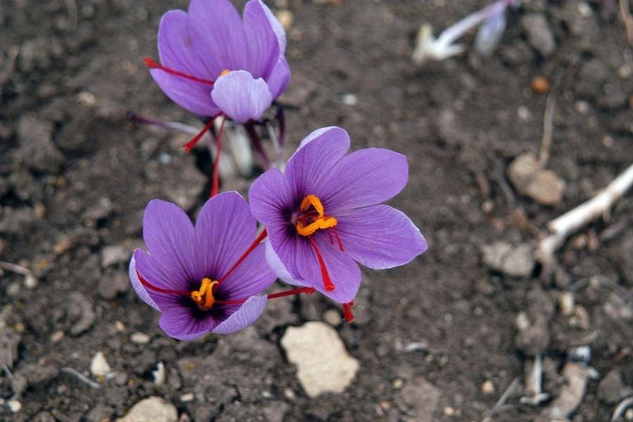 Saffron Blooms: The story of the world's most expensive spice
